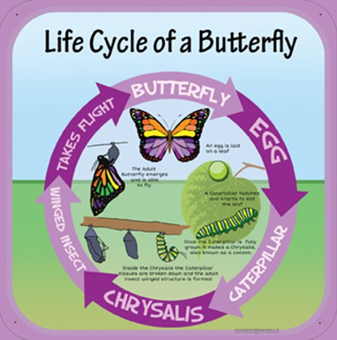 Life Cycles - Butterfly