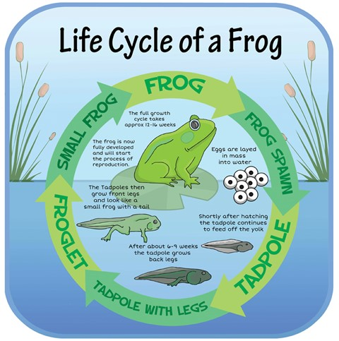 Life Cycles - Frog