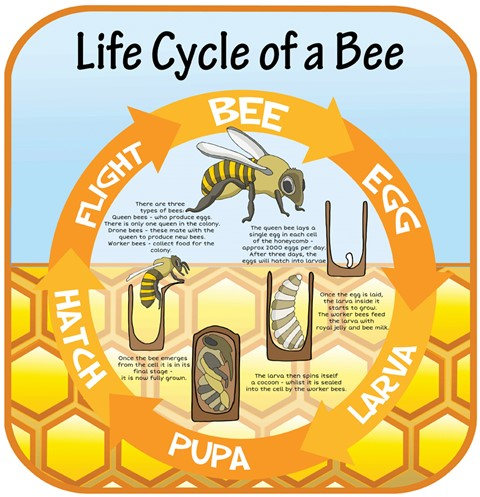 Life Cycles - Bee