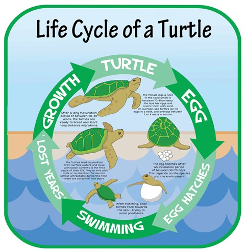 Life Cycles - Turtle