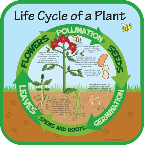 Life Cycles - Plant