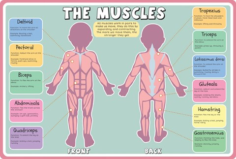 Anatomy-Muscles